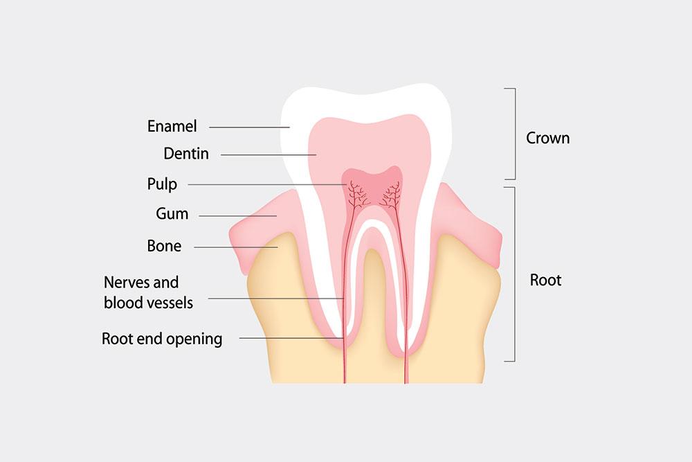 Sensitive Tooth Anatomy